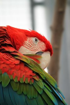 Free Parrot Royalty Free Stock Photography - 26120717