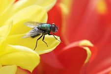 Free Blue Bottle Fly - Calliphora Vomitoria Stock Photography - 26123082