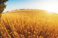 Sunset In A Wheat Field Stock Photos