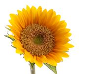 Free Sunflower With Dew Stock Image - 26125271