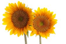 Free Sunflower With Dew Royalty Free Stock Image - 26125286