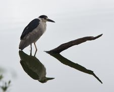 Free Black-crowned Night-heron Stock Photo - 26129570