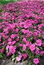 Free Petunia Stock Images - 26136974