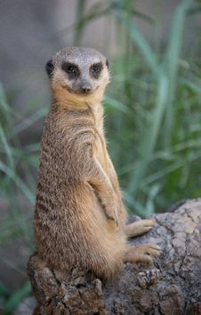 Free Meerkat Stock Photos - 26131823