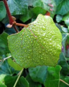 Free Green Leaf Of An Ivy In Water Droplets Stock Photos - 26137613