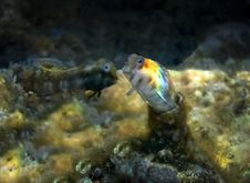 Small Fish From The Family Blennidae Royalty Free Stock Photo