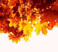 Free Maple Leaves Royalty Free Stock Photos - 26139968