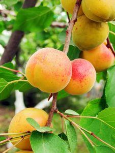Free Ripe Apricots Stock Photos - 26140133