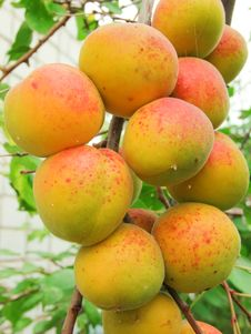 Free Ripe Apricots Royalty Free Stock Images - 26140169