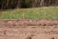 Free White Wagtail Bird Royalty Free Stock Photography - 26140517