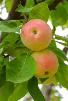 Two Apples On A Branch Stock Images
