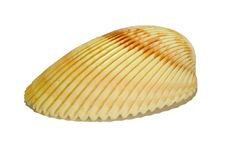 Free Beauty Scallop Royalty Free Stock Photos - 26146348