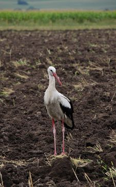 Free Stork White On The Fallow Field Stock Photography - 26147732