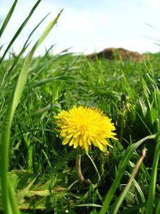 Free Unique Yellow Flower Of Dandelion Royalty Free Stock Photo - 26148235