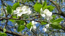 Blossoming Tree Of Plum Royalty Free Stock Images