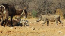 Free Salt Fight 1 - Warthog And Waterbuck Royalty Free Stock Photos - 26149768