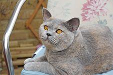 Free Pedigree Cat On Seat Royalty Free Stock Image - 26150346