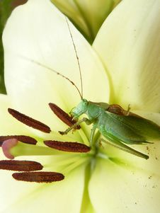 Free Green Grasshopper Sits On A Flower Royalty Free Stock Photo - 26150725
