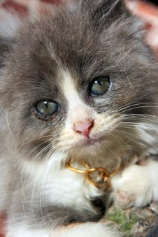 Kitten CAT Royalty Free Stock Photos