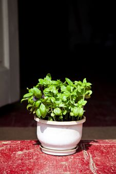 Free Basil Herbs In Clay Planter Royalty Free Stock Photo - 26153465