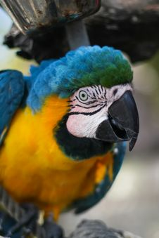 Free Blue Parrot Royalty Free Stock Images - 26155249