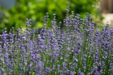 Free Lavenders Stock Images - 26155254