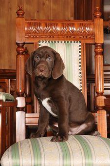 Cute Brown Puppy Portrait Stock Image