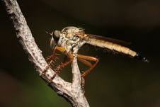 Free Insectivorous Meng Stock Photography - 26158552
