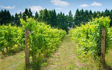 Vineyard Of Sunny Day Stock Photo