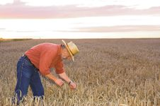Free The Down On The Field Of Wheat Stock Photography - 26160982