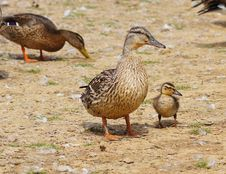 Free Duck And Duckling Stock Photo - 26161050
