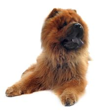 Free Chow-chow Royalty Free Stock Photo - 26163025