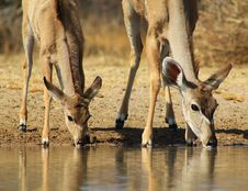 Free Kudu Mother And Calf - African Antelope Royalty Free Stock Photo - 26164495