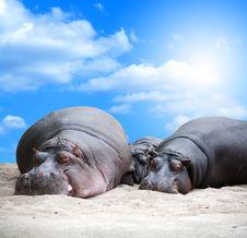 Free Hippopotamus Family Siesta Royalty Free Stock Photography - 26166357