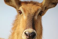 Free Cold Stare From Waterbuck Mom - Africa Royalty Free Stock Photos - 26166528
