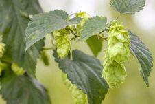 Free Hop - Taste Of Beer Royalty Free Stock Images - 26168149