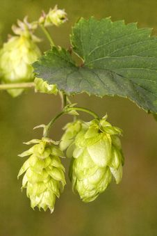 Free Hop - Taste Of Beer Royalty Free Stock Photography - 26168247