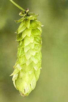 Free Hop - Taste Of Beer Stock Image - 26168281