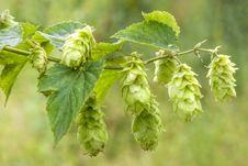 Free Hop - Taste Of Beer Royalty Free Stock Images - 26168389