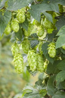 Free Hop - Taste Of Beer Stock Photography - 26168432