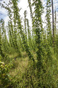 Free Hop - Taste Of Beer Stock Photos - 26168483