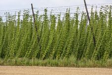 Hop - Taste Of Beer Royalty Free Stock Photography