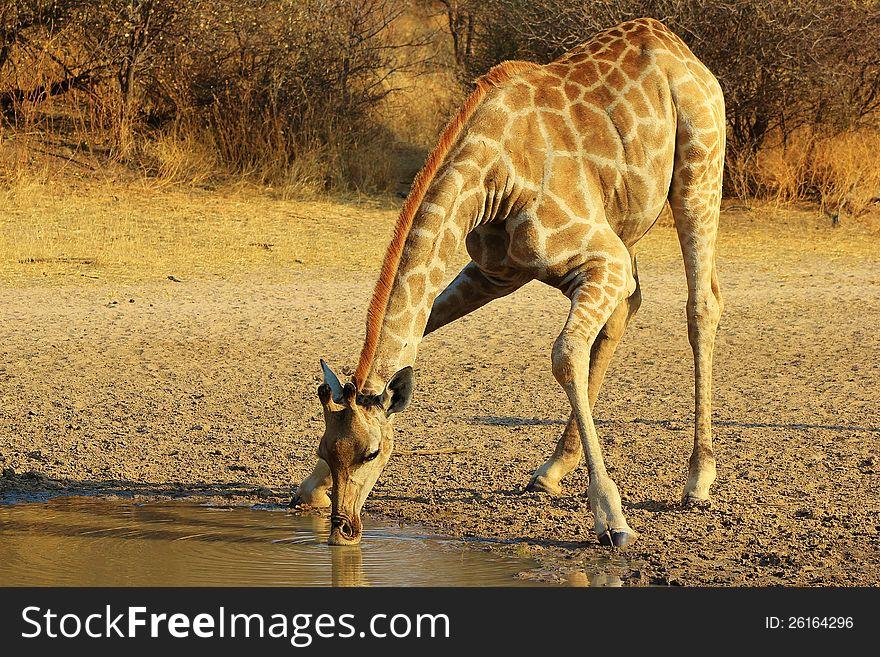 Giraffe - Splits for spits