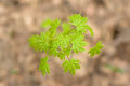 Free Green Leaves Of Maple Tree In Early Spring Stock Images - 26170024