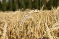 Free Ears Of Wheat Royalty Free Stock Photography - 26176087