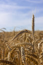 Free Ears Of Wheat Stock Photos - 26176093