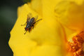 Free Common Fly On Yellow Flower Stock Photo - 26177500