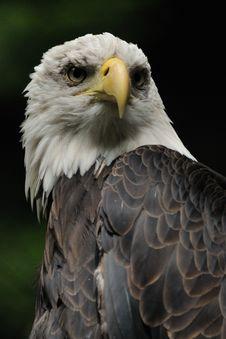 Bald Eagle &x28; Haliaeetus Leucocephalus &x29; Royalty Free Stock Photo