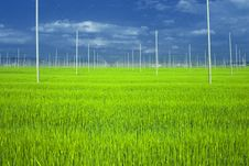 Hops Field With Wheat Royalty Free Stock Images