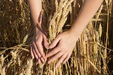 Free Bunch Of Wheat In Hands Royalty Free Stock Photos - 26176088